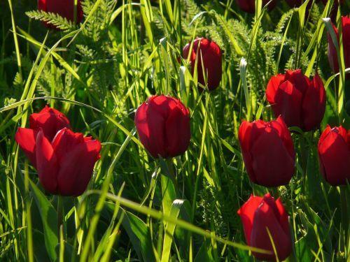 tulip field tulips purple