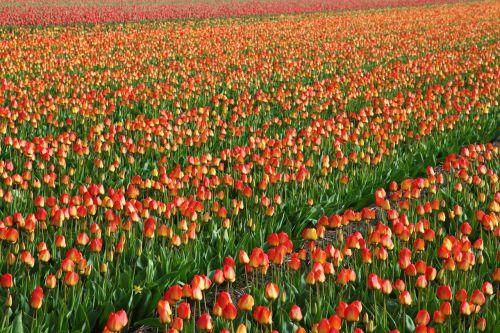 Tulip Field Background