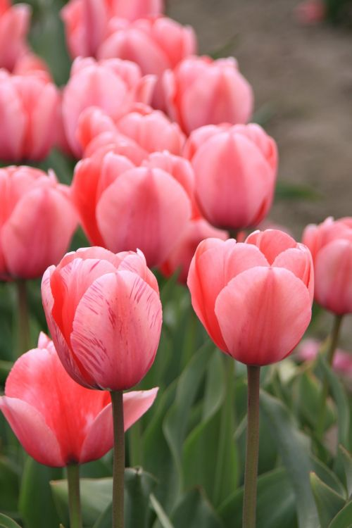 tulpių laukai,Vašingtono valstija,tulpių festivalis
