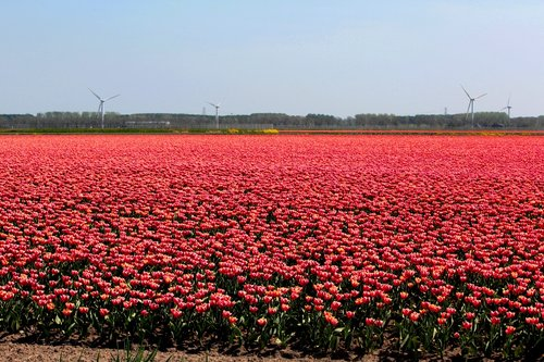 tulip fields  bulbs  tulips