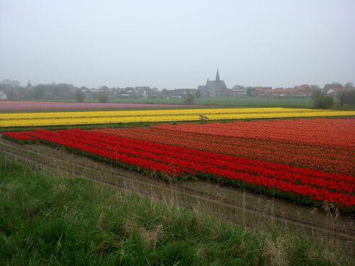 tulpių laukai, spalvos, svogūnėliai, bažnyčia, kraštovaizdis, lietus, gamta, pavasaris, tamsus oras