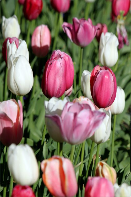 Tulip Flows Wallpaper