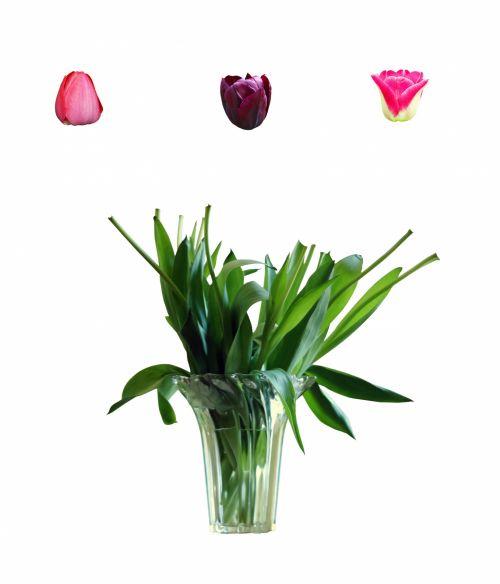 tulpė, gėlė, puokštė, vazos, stiebas, stiebas, stiebas & nbsp, tulpė, gėlė & nbsp, galva, galva & nbsp, tulpė, gėlės, tulpės, izoliuotas, balta & nbsp, fonas, žydėti, žiedas, gėlių, nustatyti, elementas, dizainas, tulpė izoliuota