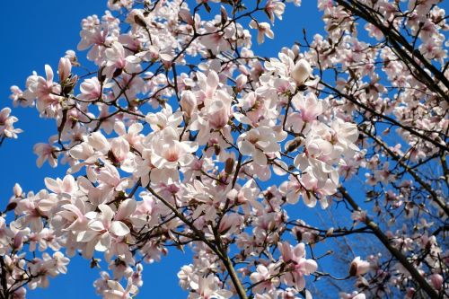 tulip magnolia tree bush