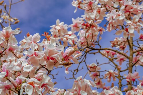 tulip magnolia  tree  branch