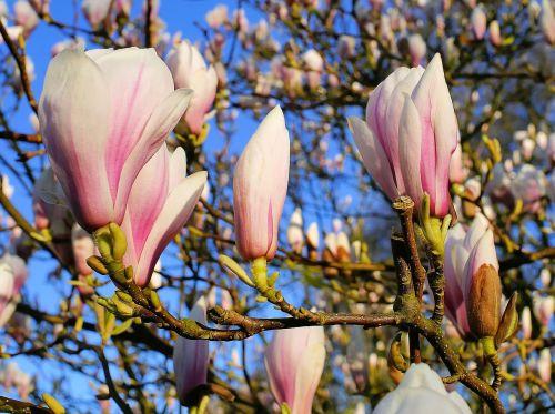 tulip magnolia flowers magnoliengewaechs
