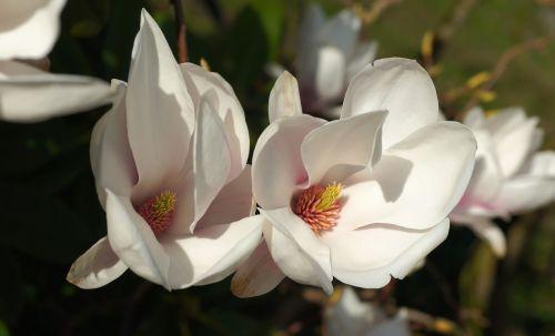tulip magnolia blossom bloom