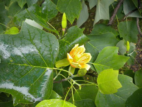tulip tree tree liriodendron tulipifera