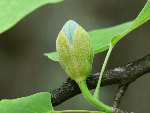 tulip tree tree bud
