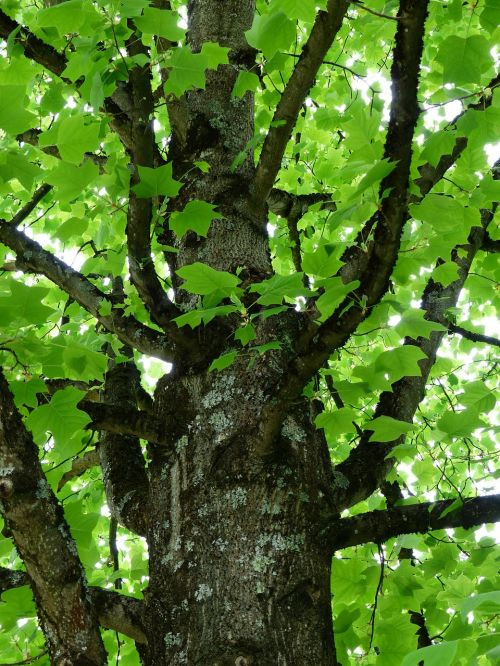 tulip tree tree tribe