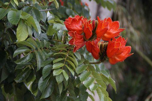 tulpių medis,exot,egzotiškas,atogrąžų,šviesus,gėlės,medis,tropikai
