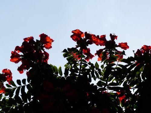 tulpių medis,gėlės,raudona,šviesus,african tulpenbaum,spathodea campanulata,bignoniaceae augalai,bignoniaceae,ant vynmedžio,sepals
