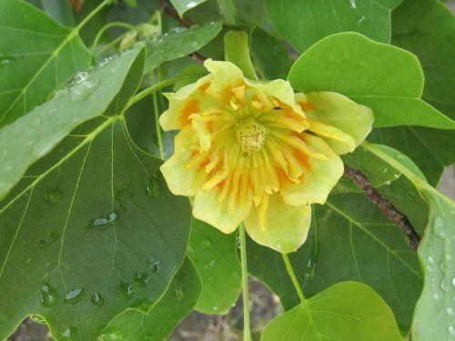 tulpių medis,liriodendron tulipifera,magnoliengewaechs,medis,augalas,žiedas,žydėti,pavasaris,pakilti,žalias,geltona,gėlė,šviežias