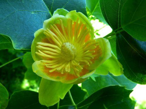 tulpių medis,žiedas,žydėti,medis,magnoliengewaechs,liriodendron tulipifera,augalas,gėlė,žalias