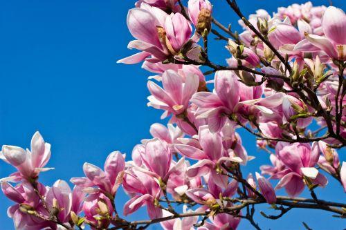 tulpių medis,medis,magnoliengewaechs,žiedas,žydėti,gamta,budas,violetinė