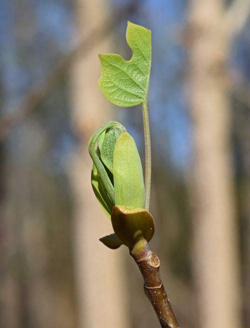 tulpių medis tuopa,tuopa,medis,nauji lapai,augalas,lapija,flora,pavasaris,miškai,miškas,auga,gamta