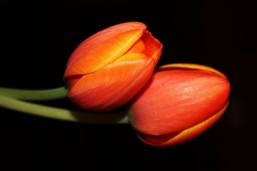 tulips night flower floral