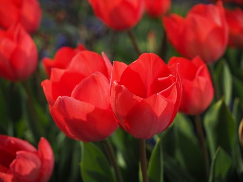 tulips red flowers