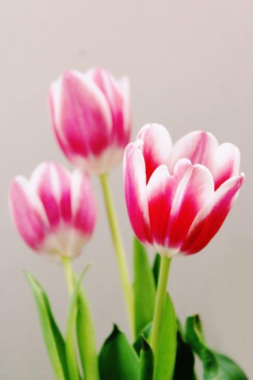 tulips flowers flora
