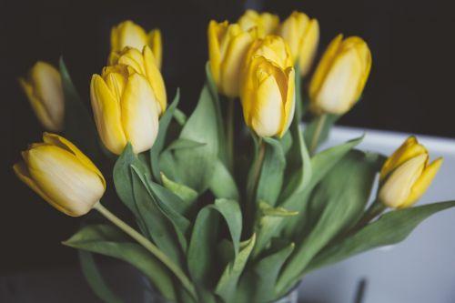 tulips yellow flowers flowers