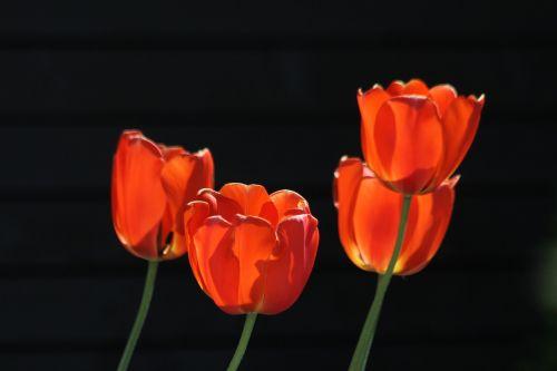 tulips red tulips red orange tulips