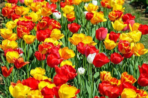 tulips flower bloom