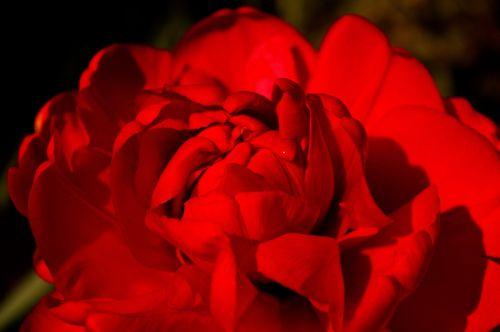 tulpės,raudonos tulpės,raudona,gėlė,pavasaris,gamta,gėlės,žydėti,pavasario gėlė,augalas,ankstyvas bloomer,sodas,žiedlapiai,gėlių sodas,pavasario pranašys,dvigubos gėlės,rožės tulpės,flora,botanika,frühlingsanfang,frühlingsblüher,pilnai žydėti,pabudimas,tulpenbluete,atviras,gėlių svogūnėlių,geliu lova,egzotiškas,žydėjo,farbenpracht,šviesus,spalva,gražus,spalvinga