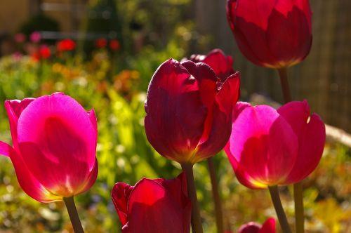 tulpės,raudonos tulpės,raudona,gėlė,pavasaris,gamta,gėlės,žydėti,pavasario gėlė,augalas,ankstyvas bloomer,sodas,žiedlapiai,gėlių sodas,pavasario pranašys,dvigubos gėlės,rožės tulpės,flora,botanika,frühlingsanfang,frühlingsblüher,pilnai žydėti,pabudimas,tulpenbluete,atviras,gėlių svogūnėlių,geliu lova,egzotiškas,žydėjo,farbenpracht,šviesus,spalva,gražus,spalvinga,rožinis,rožinės tulpės
