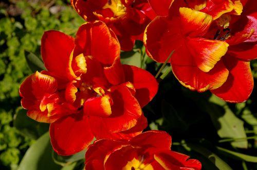 tulpės,raudonos tulpės,raudona,gėlė,pavasaris,gamta,gėlės,žydėti,pavasario gėlė,augalas,ankstyvas bloomer,sodas,žiedlapiai,gėlių sodas,pavasario pranašys,dvigubos gėlės,rožės tulpės,flora,botanika,frühlingsanfang,frühlingsblüher,pilnai žydėti,pabudimas,tulpenbluete,atviras,gėlių svogūnėlių,geliu lova,egzotiškas,žydėjo,farbenpracht,šviesus,spalva,gražus,spalvinga,bi spalva,geltonai raudonos tulpės,pavasaris,graži