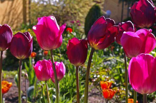 tulpės,raudonos tulpės,raudona,gėlė,pavasaris,gamta,gėlės,žydėti,pavasario gėlė,augalas,ankstyvas bloomer,sodas,žiedlapiai,gėlių sodas,pavasario pranašys,dvigubos gėlės,rožės tulpės,flora,botanika,frühlingsanfang,frühlingsblüher,pilnai žydėti,pabudimas,tulpenbluete,atviras,gėlių svogūnėlių,geliu lova,egzotiškas,žydėjo,farbenpracht,šviesus,spalva,gražus,spalvinga,rožinis,rožinės tulpės,grožis,violetinės tulpes
