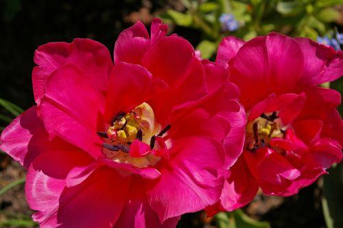 tulpės,raudonos tulpės,raudona,gėlė,pavasaris,gamta,gėlės,žydėti,pavasario gėlė,augalas,ankstyvas bloomer,sodas,žiedlapiai,gėlių sodas,pavasario pranašys,dvigubos gėlės,rožės tulpės,flora,botanika,frühlingsanfang,frühlingsblüher,pilnai žydėti,pabudimas,tulpenbluete,atviras,gėlių svogūnėlių,geliu lova,egzotiškas,žydėjo,farbenpracht,šviesus,spalva,gražus,spalvinga,rožinis,dekoratyvinis