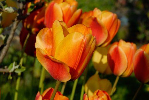 tulips orange blossom