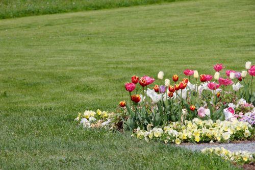 tulips tulipa tulpenzwiebel