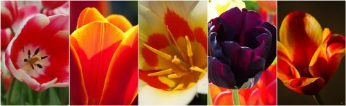 tulips flowers flower collage