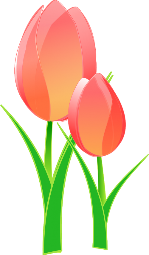 tulips bulbous flower
