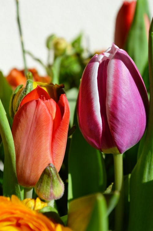 tulips flowers holland