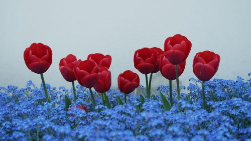 tulips forget me not flowers