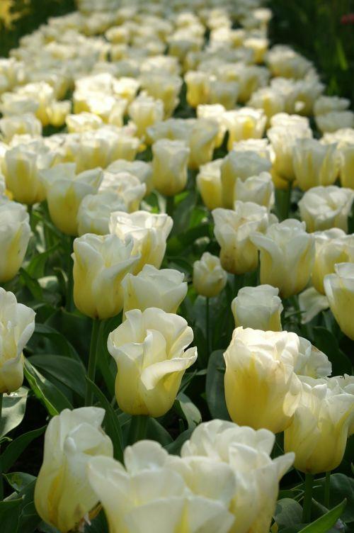 tulpės,holland,pavasaris,gamta,tulpė,tulpių laukai,keukenhof,tapetai,balta,Nyderlandai