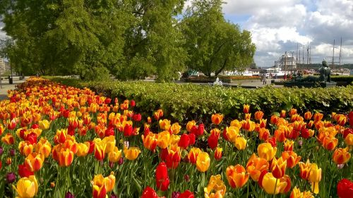 tulips port city