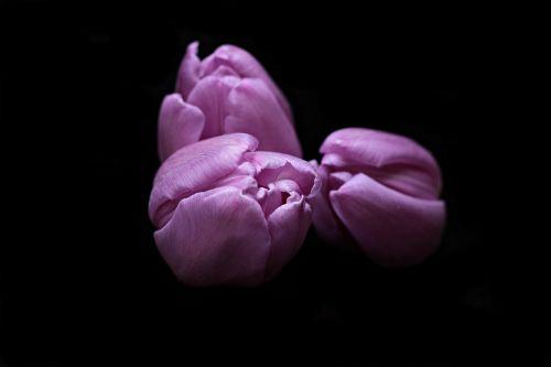 tulips flowers tulip flower