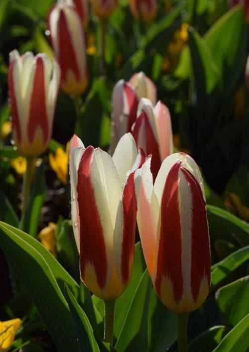 tulips tulipa flower