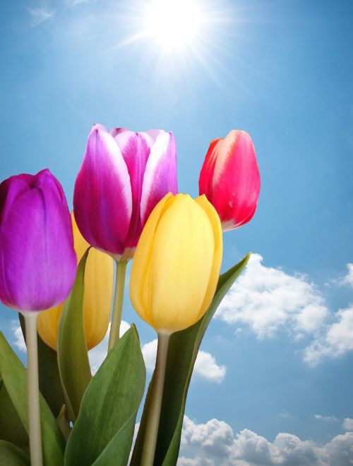 tulips spring colorful