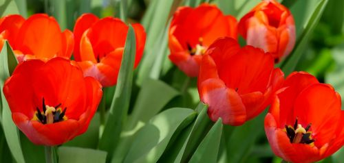 tulips red spring