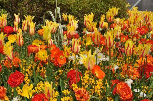 tulips spring vibrant