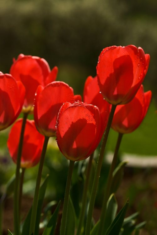 tulips spring flower
