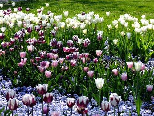 tulips tulipa breeding tulip