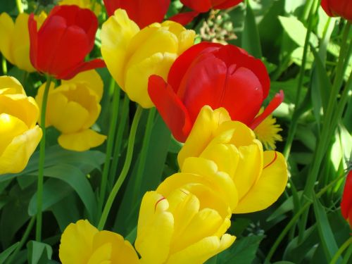 tulips close early bloomer