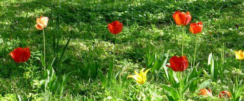 tulips garden springtime