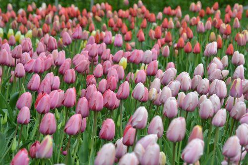 tulips sea of flowers tulpenbluete
