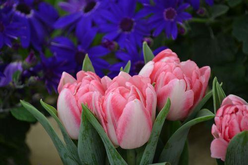 tulips flowers nature